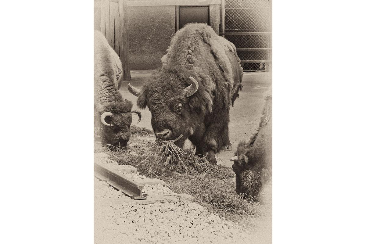 43_Bison